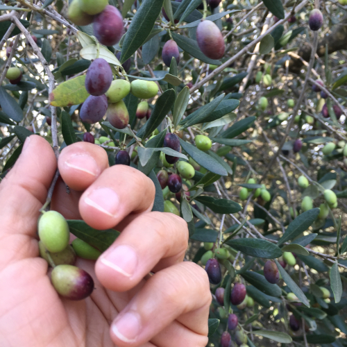 IP - Olive Picking 2