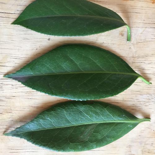 IP - Leaf 1