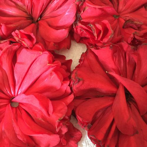 IP - Camellia 1