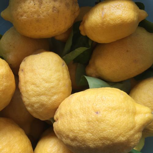 IP - Lemon 1